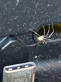 この蜘蛛はなんという蜘蛛ですか?よく埃が多いとこにいます。