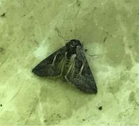 蛾の種類  写真の蛾について 種類が分かる方、ご教示ください。  本日福岡県で撮影したものです。 遠目に撮影したので分かりませんが、死骸のような気がします。