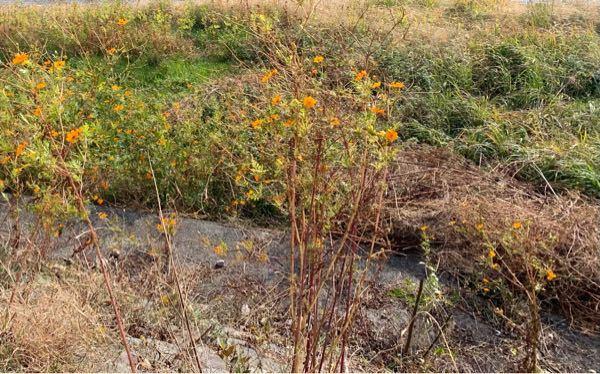 この花の名前を教えてください。 川沿いに生えていました。