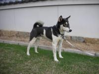 柴犬を毛色や血統など考えず、無計画無配慮に交配させれば様々な毛色の犬が生まれますか? 日本には昔から白黒斑等の多様な色の犬がいたが、日本犬保存会が毛色を固定してしまったそうです。