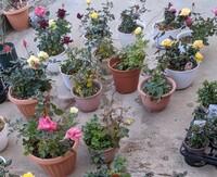 ミニバラに詳しい方、教えて下さい。 春に買って株分けしたものと、秋に購入して最近株分けしたものとミニバラが50鉢程あります。新潟県、新潟市ですが外で冬越し出来ますか?   forever rose がほとんどです。  ...