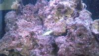 【海水魚飼育】このライブロックが赤い(ピンク色)のは いわゆる「シアノバクテリア」でしょうか? 海水魚歴8 カ月の初心者です。それともコケでしょうか?