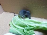 ネズミの種類やおおよその月齢わかりますか?
