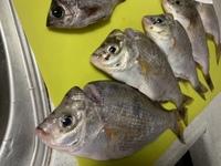サビキで20cm程の魚が釣れました。 この魚の名前はなんですか? 鯛の様な気もしますが、何鯛なんでしょうか?