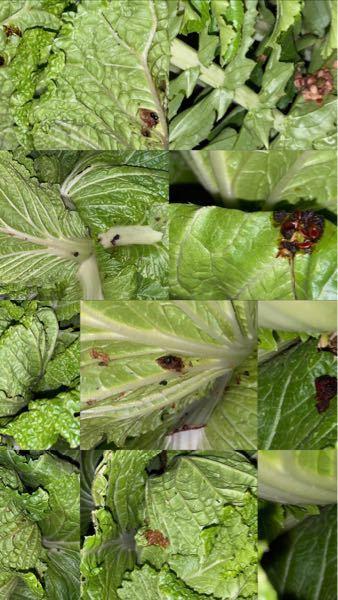 大根と白菜を育てているのですが、ふと畑に行くと黒?茶色の画像のようなものが野菜についていました。育てている半分以上についています。これって何でしょうか?原因とかありますか?病気ですか?食べても大...