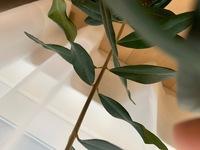 観葉植物初心者です。  オリーブの木について質問です。 まだ小さいですが、念願のオリーブを1週間ほど前に購入しました。 写真のように、葉がところどころくるくる丸まったりねじれたりしており心配です。   ...