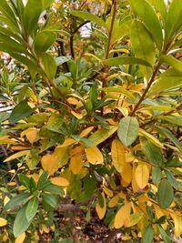 花壇に植えてるオオムラサキの葉っぱがやたらと黄色くなり落葉します。水遣りは週2くらいの割合ですが弱ってるのでしょうか?ちなみに花壇はテラス庭に透水パイプを埋設して設えたもので地植えではありません。た...