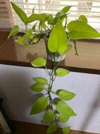 観葉植物の名前が分かりますん 誰か教えてください。