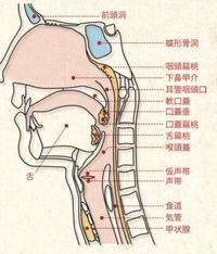 喉で意識的に動かせる部分はどこですか?      以外は読んでも読まなくても良いです。 質問に至った理由は、女声(合唱の方ではない)を一年独学していたのですが、いつのまにかある部分を使う癖が異常について...