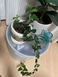 ダイソーで買った観葉植物なのですが、一本だけ長く伸びてしまいました。これからどう育てるのがいいか教えてください。刺し技?とかできますか?