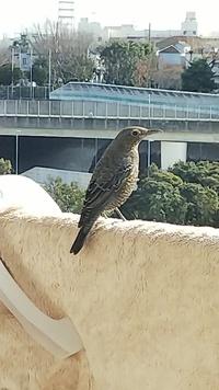 ベランダに鳥が来ました。 名前を知りたくて調べてみたのですが、ヒヨドリともツグミともムクドリとも違うような気がします。 大きさは鳩より小さく、鳴くことはありませんでしたがしっぽを上下させながらベラン...
