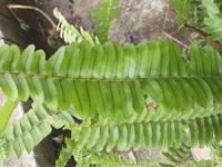 観葉植物。シダの名前がわかりません 似てるのは沢山ありますので、正式名あるならば教えて下さい。
