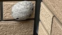 昨年末に家の外壁の地上80センチ位に巣ができていました。過去のYahoo!知恵袋を見るとスズバチの巣らしいのですが自分で駆除できるのでしょうか。