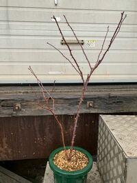 バラの冬剪定について教えてください。 メイアン社のダブルノックアウトです。 株元から枝の一番高いところまでで約80cmです。 8号鉢に植わっています。去年大苗を購入し、初めての冬剪定です。  剪定の位置です...