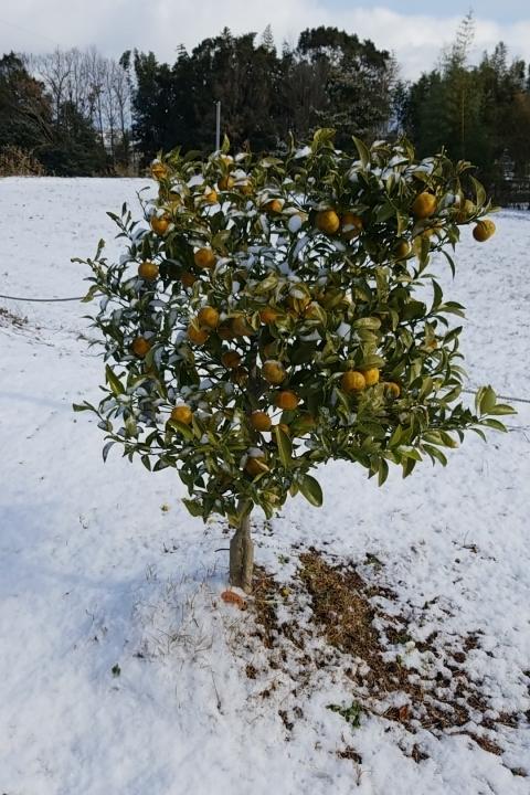 福岡県在住者です。 庭植のシークワーサーなのですが実が沢山ついています。 実が完全に黄色くなってないので、そのままにしていましたが 昨日今日と雪が降り(2センチ程度)寒が入って来ました。 元々寒...