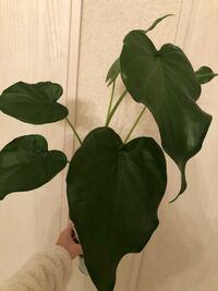 これってモンステラですか?詳しい方是非教えて頂きたいです。葉割れがまだなのでモンステラなのか分からず…、、、 なんの観葉植物か分かりますか?