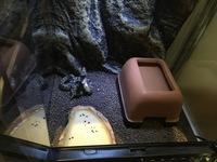 レオパを飼育しているのですが、保温について質問させて頂きます。 (飼育に使っているもの) グラステラリウム3045(スドーレプティケースから3日前に変更しました。) レプタイルヒートsサイズ デザートソイル(厚さ2、3センチ) ウエットシェルター です。ケージ内の温度は昼間24℃、夜間20℃ サイズはアダルトです。 (レオパを飼育して4年ほど経ちますがこれ程寒いのは初めてでして...