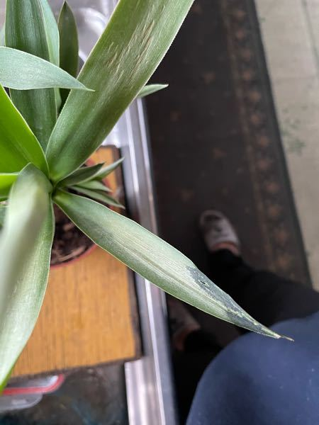 観葉植物のユッカの状態が悪いようです。 秋ごろ購入。岩手在住で今頃は氷点下になるので台所の日の当たる窓のそばに置いていました。 水は周1にたっぷり与える程度 葉水は、ほぼ毎日霧吹き2.3回程度 画