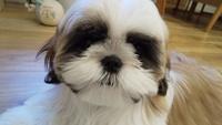 飼い犬についての質問です。 生後2ヶ月のシーズーを飼いました。 現在5ヶ月です。 一ヶ月前にトリミングをして目の回りの毛色が真っ黒なのがわかりました。 目と毛色が同化してしまうのですが、 毛色が薄くなっ...