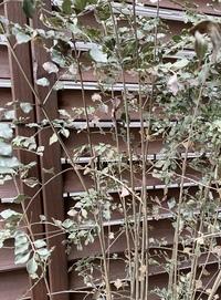 鉢植えのシマネトリコ  昨年5月に鉢植えのシマネトリコを購入しました。 12月あたりから、画像のように茶色くなり始め、今では触るとパリパリで、葉が粉々にさけてしまう状態です。  水やりは2日に一回ほどしており、 日照は少ない場所です。  これは枯れてしまったのでしょうか?  住まいは関東です。