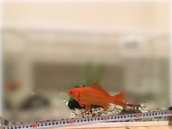 この金魚の価値っていくらぐらいですか?(ホームセンターなどで買う場合) この金魚は釣ってきました。 全長20cmぐらいです。