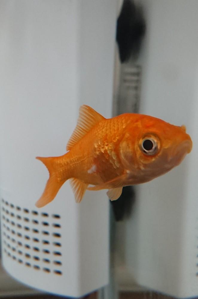 金魚の胴体がポッコリして、そこから白い物が出てきてます。 何だかわからないのですが教えてくださいm(__)m