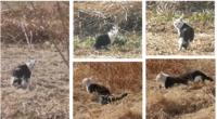 信じられない色分けの猫を見ました(写真あり) 首から上が全部白猫で、胴体は黒猫という、不思議すぎる色分けの野良猫を見ました。猫は大好きで、いつも散歩しながら探していますが、自分も知人も今までこんな猫...