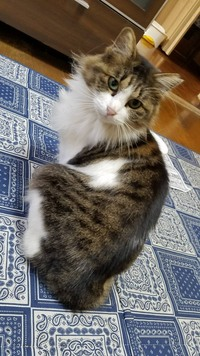 この猫ちゃんの種類ってなにかわかりますか?? 里親で引き取ろうかなと思っているのですが、ふと何猫ちゃんなんだろう?と気になりまして。 見ただけでわかる方いらっしゃいますか??