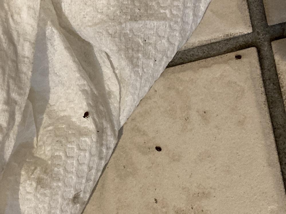 玄関の靴箱下の靴置き場やシューズインの端に時々出現するこの虫はなんなんでしょうか? 黒くてゴマ程度の大きさでつぶすとぷちっとします。殺虫剤をまいても数十経つとまた出てくる感じです。コンクリートの...