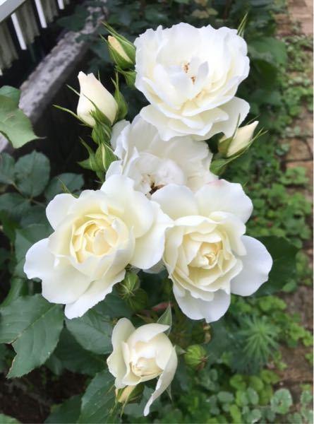 このバラの名前を教えて下さい。 花束のように花が咲きます。 宜しくお願い致します