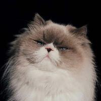 カネコアヤノさんが飼っている日の出という名前のこの猫ちゃんはなんという種類ですか?