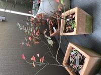 ブルーベリーの枝について。 夏から育てているブルーベリー3鉢ですが、 今頃の季節に赤くなりました。 これは紅葉でしょうか? 葉はどんどん落ちていってます。 新芽のつぼみ?のようなものは枝にみえるよう...
