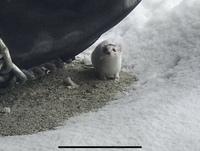 北海道札幌市のとある温泉街に来た時、小さくて可愛い動物が、ショベルカーの周りをチョロチョロしていました。 この動物がなにかわかりますか?