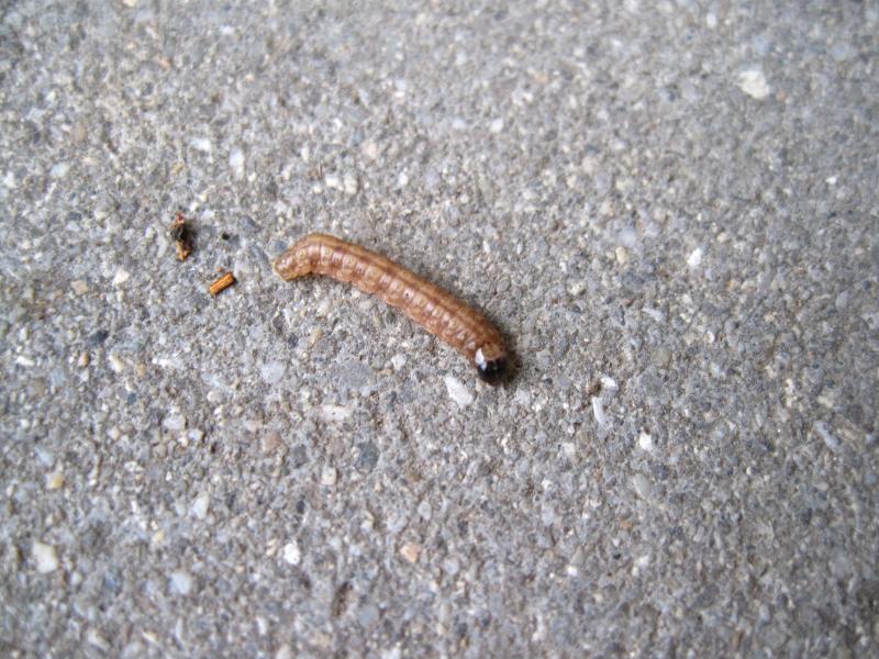 この幼虫は何の幼虫でしょうか? 庭のクロモジの樹をよじ登っていたのでピンセットで取って写真を撮りました。 長さは2cmくらいです。 名前がわかる方よろしくお願い致します。