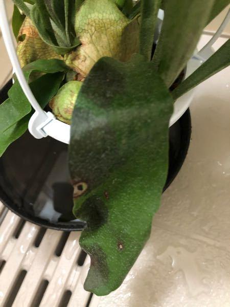 コウモリランをネットで購入しました。 このような黒い斑点が他の葉にもかなりあります。 病気でしょうか?