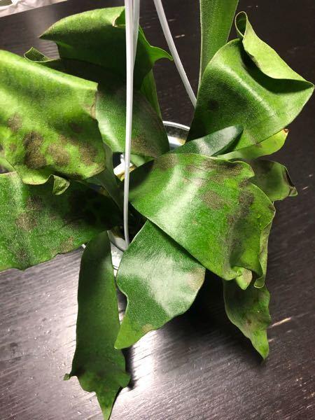 ネットでビカクシダ(コウモリラン)を購入しました。茶色の斑点は病気ですか?(T ^ T) かなり全体の葉に広がってます。 原因わかる方お願いします。