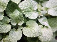 ◆なんという植物(雑草)でしょうか?◆  いつもお世話になっております。 この寒天の中、庭で枯れもせず青々としているハート型の葉の植物が...。 見た感じミントの葉のような質感で、調べてみても何の植物なのかわかりません。 つる植物ではないようですが、写真を見ておわかりの方がいらっしゃいましたら教えていただけないでしょうか。 どうぞ宜しくお願いいたします。