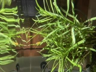 この水草の名前を忘れてしまいました。 どなたかこの水草の名前を分かる方おられますか? 大変ど素人な質問で申し訳ございません。