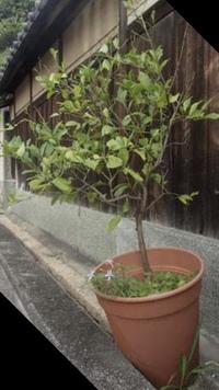 鉢植えしていたレモンの木を3月に庭に植えようと思います。 植えた時に剪定は、したほうが良いのか教えてください。 良い剪定方法が有れば教えてください。 宜しくお願い致します。