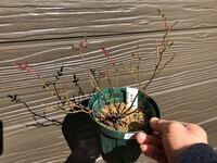 ミニバラのみさきです。 幼苗を某フリマサイトで買いました。 鉢底から根は見えていますが、まだ鉢中に張っている感じはないので、植え替えはしないつもりですが、剪定は必要ですか?