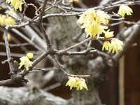 この花の咲く木は何という木でしょうか? 2021-01-30福岡市のお寺の境内に咲いていました。 人の背丈ほどの高さの木です。