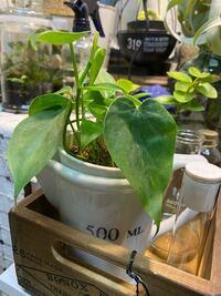 ダイソーで300円シリーズの観葉植物を購入しました。 名札がついてなかったので品種がわかりません。 フィロデンドロンかな?と思っていますが、違うでしょうか?? 他にもこれじゃないか?というのがありました...