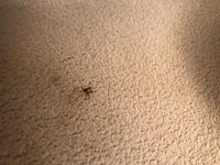 この蜘蛛はなんていう蜘蛛ですか? 小さくて糸を綱渡りのように移動していました