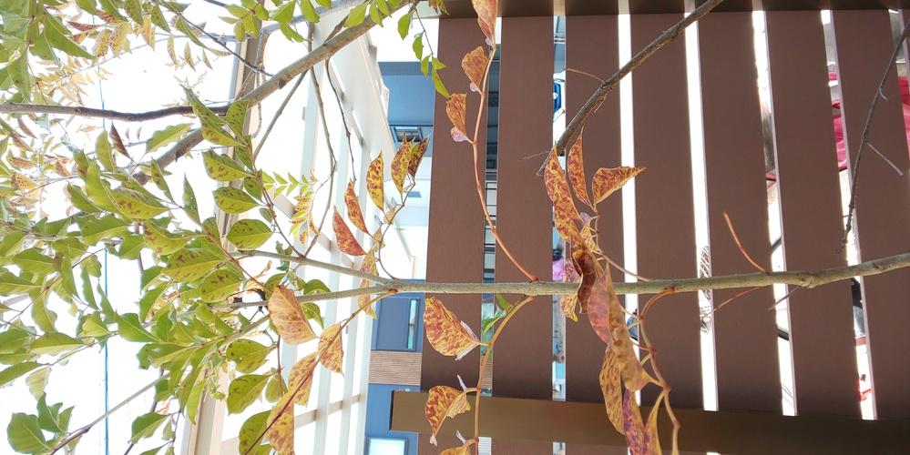 庭にシマトリネコ 、キンモクセイ、シラカシが並んで植えています。 植えてから3年半になります。 最近 シマトリネコの葉が変色し、キンモクセイとシラカシの葉が落ちました。 何の病気でしょうか? 分...