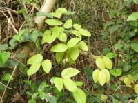 このツル植物の名前教えて下さい。