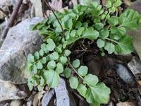 植物について この植物の名前わかる方いませんか?自生場所は和歌山県北部の川で、上流域になります。 植物に詳しい方回答のほどお願いします。