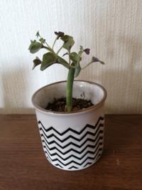 ダイソーで購入した植物の品種について。 品種が書かれた名札を廃棄してしまったので、どなたか植物に詳しい方教えて頂けないでしょうか?