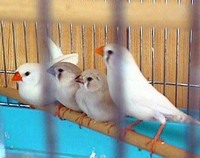 キンカチョウの性別の判断って・・・・ 先日、こちらに相談して、教えていただいた先でキンカチョウの成鳥をペアで買ってきました。 その節はありがとうございました。  本当は雛を買って手乗りにしたかったので...
