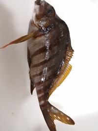 この魚はタカノハダイでしょうか?