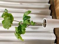 フィカスウンベラータについて 自宅のリビングにあるウンベラータが、いただいた頃より葉が増えすぎてる気がするんですが 調べてみると冬は葉を摘んだりしないほうが良いと書いてありました。 しかし新しい芽?葉?が次々に出てきています。  このまま春まで耐えてもらっても大丈夫でしょうか? 葉を減らしたほうが良いですか? またこの鉢は小さいのでしょうか? 土&木チップですが根のようなものが見えて...